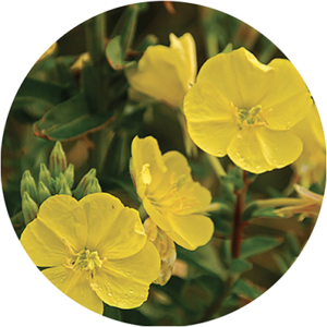 Certified Organic Evening Primrose Oil